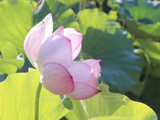 蓮子の花の写真・画像素材[1792796]