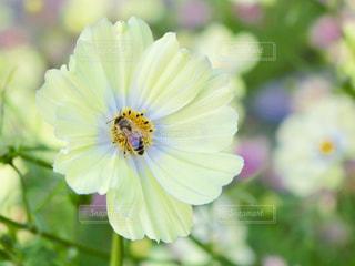 蜂がコスモスに‥の写真・画像素材[1824771]