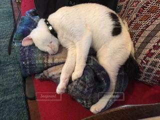 猫,かわいい,マフラー,ふわふわ,癒し,お昼寝,熟睡,ネコ,ぬくぬく