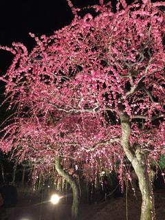 ピンクの花の木の写真・画像素材[890940]
