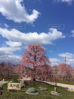青空としだれ梅の写真・画像素材[890967]
