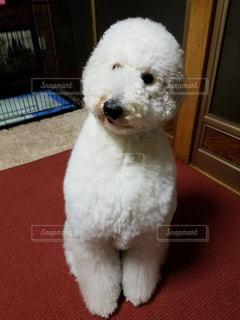 部屋に小さな白い犬立っての写真・画像素材[909478]