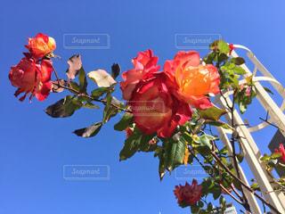 空,花,綺麗,青空,薔薇