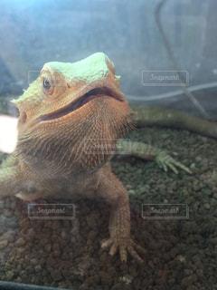 近くに爬虫類のアップの写真・画像素材[974114]