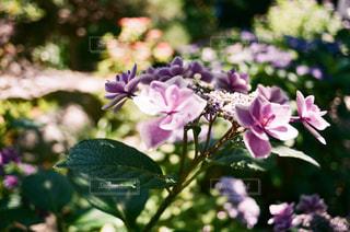紫陽花,フィルム,鎌倉,フィルムカメラ,フィルム写真