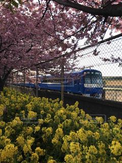 桜,電車,菜の花,鉄道,お天気,三浦
