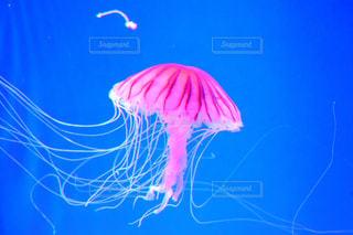 クラゲの写真・画像素材[845135]