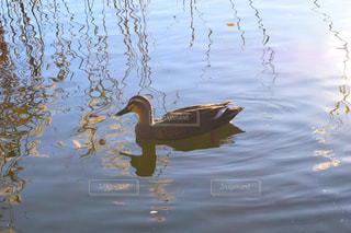 水の体に浮かぶアヒル - No.890574
