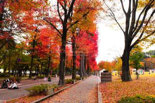 自然,秋,紅葉,赤,道,金沢,グラデーション,絨毯,11月,カエデ
