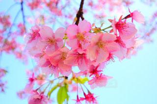 自然,花,春,桜,屋外,ピンク,青空,花見,お花見,旅,江ノ島,ライフスタイル