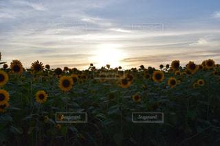 自然,空,花,夏,夕日,お花畑,花畑,屋外,太陽,ひまわり,雲,青空,夕方,景色,光,向日葵,ひまわり畑,向日葵畑,日