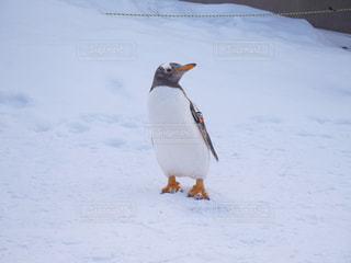 雪の中のペンギンの立っています。 - No.883936