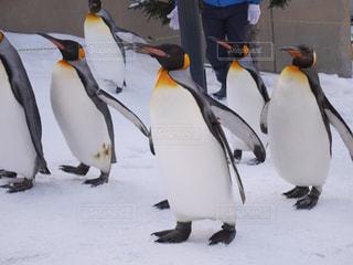 雪の中のペンギン - No.883946