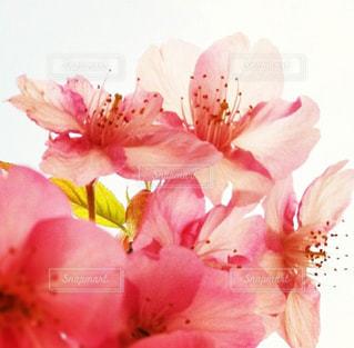 桃の花の写真・画像素材[844072]