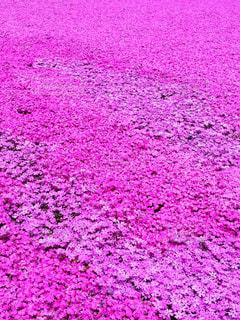 ピンクの絨毯の写真・画像素材[843744]