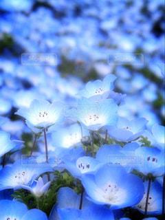青い花畑の写真・画像素材[1101890]