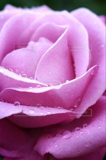 綺麗な薔薇、綺麗な水滴の写真・画像素材[1114233]