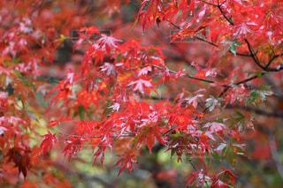 艶めく紅葉の写真・画像素材[1620532]