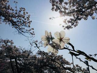 空,春,桜,太陽,青空,花びら,光,飛行機雲