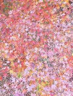 秋の絨毯の写真・画像素材[840753]