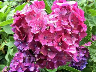 自然,花,雨,屋外,きれい,鮮やか,ハート型,美しい,紫陽花,梅雨,アジサイ