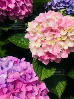 自然,花,屋外,きれい,鮮やか,美しい,紫陽花,アジサイ,季節を楽しむ,梅雨の時期