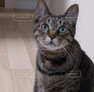 カメラを見ている猫の写真・画像素材[1291088]
