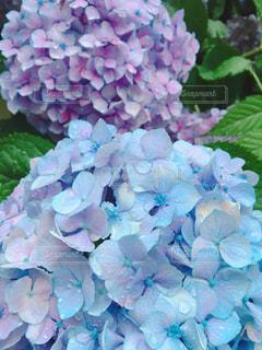 自然,花,雨,屋外,緑,水,葉,水色,紫陽花,滴る,雫,梅雨,ジメジメ,紫色,淡い,季節花,大好きな花