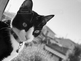 猫の黒と白の写真の写真・画像素材[841428]