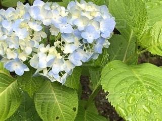 花,雨,水,葉っぱ,紫陽花,雫,梅雨,天気,雨の日,雨模様
