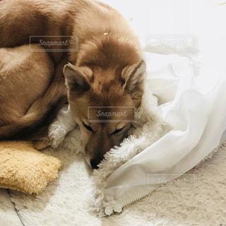 飼い主の服の上に横たわる犬の写真・画像素材[1000150]