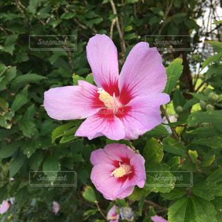 三沢で咲いてたピンクの花の写真・画像素材[1454564]