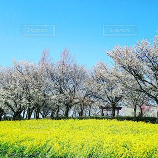 フィールド内の黄色の花の写真・画像素材[1126782]