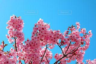 ピンクの花の木の写真・画像素材[1149044]