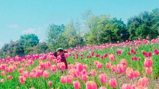 ピンク色のチューリップ畑にて♡の写真・画像素材[846233]