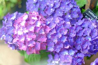 紫陽花の写真・画像素材[884867]