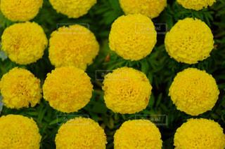 黄色いお花の写真・画像素材[884870]