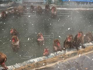 温泉につかる猿の写真・画像素材[912444]