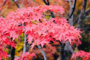 京都 雨の紅葉の写真・画像素材[846316]