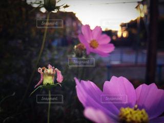 紫の花と花瓶の写真・画像素材[848921]