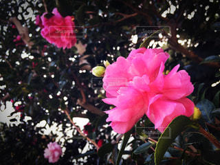 植物にピンクの花の写真・画像素材[848925]