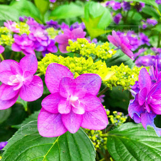 紫陽花,flower,梅雨