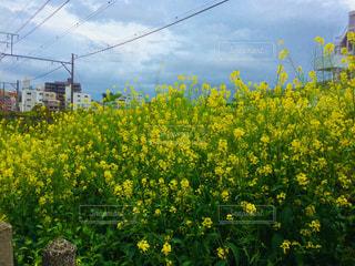 自然,風景,空,花,春,夏,黄色,菜の花,樹木,イエロー,草木,yellow