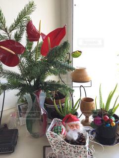 冬,植物,クリスマス,サンタクロース,ハワイ,オアフ島,ローカル