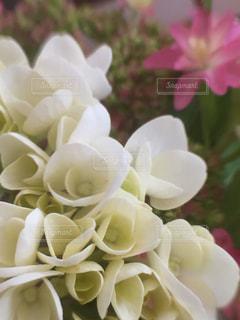 白,紫陽花,梅雨