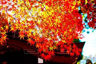 鷲林寺の紅葉の写真・画像素材[868901]