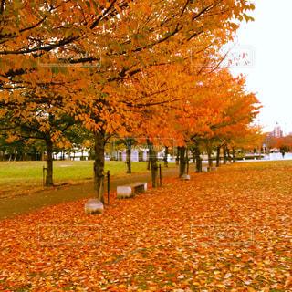 公園の大きな木の写真・画像素材[884416]