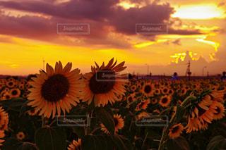 夕陽なひまわりの写真・画像素材[1368018]