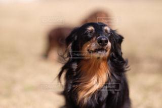 ニンマリ笑顔な犬の写真・画像素材[850622]
