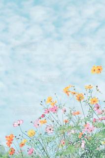 コスモス,青空,Sky,秋桜,万博記念公園